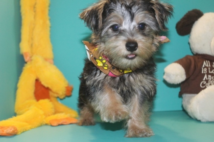 Luke Skywalker Male CKC Morkie $1750 Ready 2/16 SOLD MY NEW HOME IS BELLINGTON WA & RANCHO MIRAGO, CA DEPENDING ON THE WEATHER!