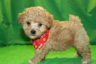 Obi-Wan Male CKC Shihpoo $1750 Ready 3/4 SOLD MY NEW HOME ST JOHNS, FL