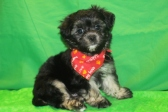 Baelfire CKC Maltipoo $1500 Ready 2/29 SOLD MY NEW HOME IS GREEN COVE SPRINGS, FL