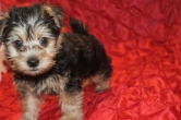 Chewy Male CKC Morkie $1750 Ready 2/16 SOLD MY NEW HOME St Augustine FL