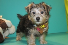 Han Solo Male CKC Morkie $1750 Ready 2/16 EASTER SPECIAL $1500 SOLD MY NEW HOME IS GAINESVILLE, FL