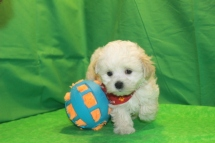 Prince Charming Male CKC Maltipoo $1750 Ready 2/29 SOLD MY NEW HOME JACKSONVILLE, FL