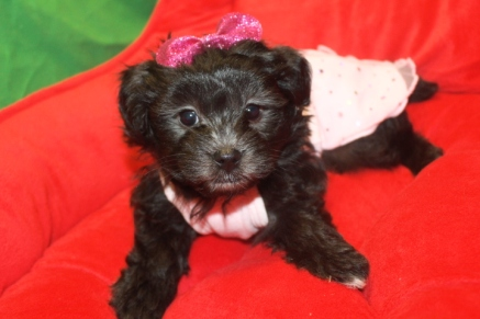 Cookie Female CKC Morkipoo $1500 Ready 1/29 HAS HOLD MY NEW HOME IS CA