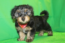 Darth Vadar Male CKC Morkie $1500 Ready 2/16 SOLD MY NEW HOME ORANGE PARK, FL
