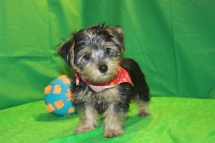 Luke Skywalker Male CKC Morkie $1750 Ready 2/16 AVAILABLE