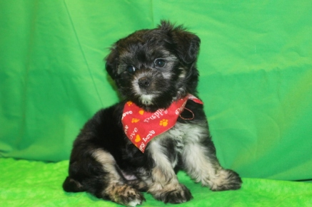 Baelfire Male CKC Maltipoo $1500 Ready 2/29 SOLD MY NEW HOME IS GREEN COVE SPRINGS, FL