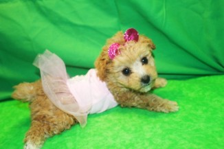 Carmela Female CKC Morkipoo $1750 Ready 1/29 HAS DEPOSIT MY NEW HOME IS PUERTO RICO