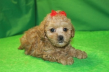 Princess Leia Female CKC Shihpoo $1750 Ready 3/4 SOLD MY NEW HOME SUNRISE FL