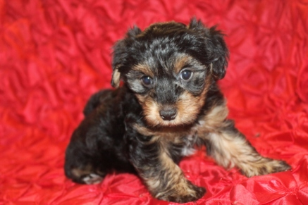 Darth Vadar Male CKC Morkie $1500 Ready 2/16 AVAILABLE