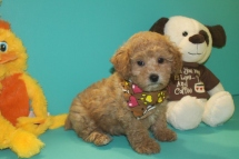 Yoda Male CKC Shihpoo $1750 Ready 3/4 SOLD MY NEW HOME ORANGE PARK, FL