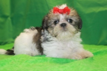 Isabella Female CKC Shorkie $1750 Ready 2/22 HAS DEPOSIT ,MY NEW HOME IS SULLIVAN IL