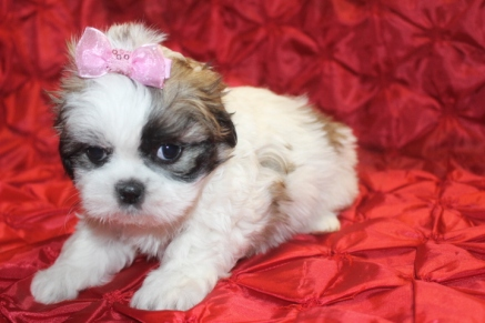 Dew Female Imperial CKC Shih Tzu $1750 Ready 2/23 SOLD MY NEW HOME ORANGE PARK, FL