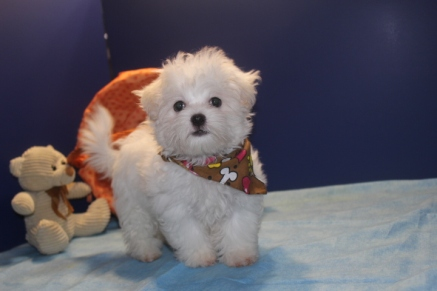 Gus Male CKC Shihpoo $1750 Ready 3/19 SOLD MY NEW HOME JAX, FL