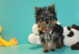 Michelangelo Male CKC T-cup Yorkie Discounted from$2500 to $1750 Red 2/10 SOLD MY NEW HOME IS JAX, FL