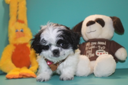 Pepsi Male Imperial CKC Shih Tzu $1750 Ready 2/23 EASTER SPECIAL $1500 SOLD MY NEW HOME FERNANDINA, FL