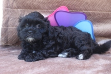 Reeses Male CKC Shihpoo $1500 SPECIAL DISCOUNT $999 Ready 4/16 AVAILABLE