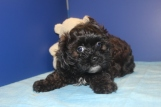 Snickers Female CKC Shihpoo $1500 Ready 4/16 SOLD MY NEW HOME TALLAHASSEE, FL