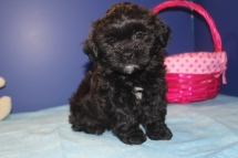 Hersheys Female CKC Shihpoo $1500 Ready 4/16 AVAILABLE