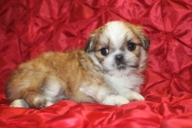 Dr Pepper Male Imperial CKC Shih Tzu $2000 Tiniest of his litter but Small Nose holes discounted to $1750 Ready 2/23 SOLD MY NEW HOME UPPERVILLE, VA