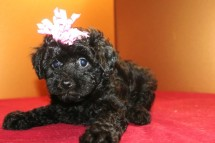 Onyx Female CKC Poodle $1500 Ready 4/3 SOLD MY NEW HOME IS SPARTANBURG, SC
