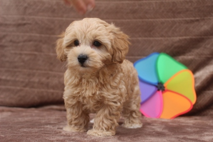 Peaches Female CKC Yorkipoo $1750 Ready 4/23 SOLD MY NEW HOME WINDERMERE, FL
