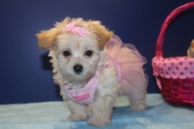 Sugar Female CKC Morkipoo $1750 Ready 4/16 SOLDMY NEW HOME YUMA AZ