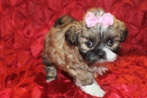 Cola Female Imperial CKC Shih Tzu $1750 Ready 2/23/16 SOLD MY NEW HOME ORANGE PARK, FL