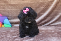 Hersheys Female CKC Shihpoo $1500 WAIT PUPPY SPECIAL $999 Ready 4/16 AVAILABLE