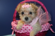 Honey Female CKC Morkipoo $1750 Ready 4/16 SOLD MY NEW HOME JACKSONVILLE, FL