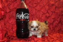 Dr Pepper Male Imperial CKC Shih Tzu $2000 Tiniest of his litter but Small Nose holes discounted to $1750 Ready 2/23 AVAILABLE