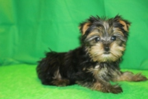 Picasso Male CKC T-cup Yorkie $2500 discounted to $2000 Red 2/10 SOLD MY NEW HOME IS DELANO MN