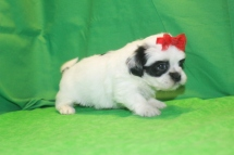 Sasha CKC Female Havashu $1750 Ready 3/19 AVAILABLE