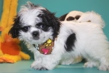 Pepsi Male Imperial CKC Shih Tzu $1750 Ready 2/23 SOLD MY NEW HOME FERNANDINA, FL
