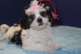 Sophie Female CKC Havashu $1750 Discounted $1250 Ready 3/19 SOLD MY NEW HOME VINCENNES, IN