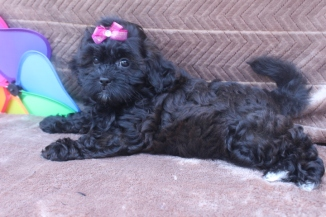 Candy Female CKC Shihpoo $1500 ON Sale $999