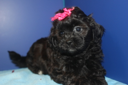 Candy Female CKC Shihpoo $1500 Ready 4/20 AVAILABLE