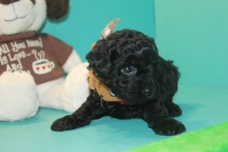 Onyx Female CKC Poodle $1500 Ready 4/3 HAS DEPOSIT MY NEW HOME IS SPARTANBURG, SC
