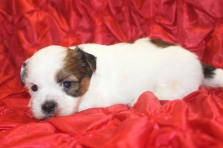 Lover Boy Male CKC Havashu $1750 Ready 3/8 AVAILABLE