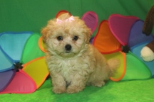 Ally Female CKC Malshipoo $1750 Ready 5/21 SOLD MY NEW HOME CORNWALL, NY