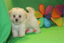 Apollo Male CKC Malshipoo $1750 Ready 5/21 SOLD MY NEW HOME ROME NY