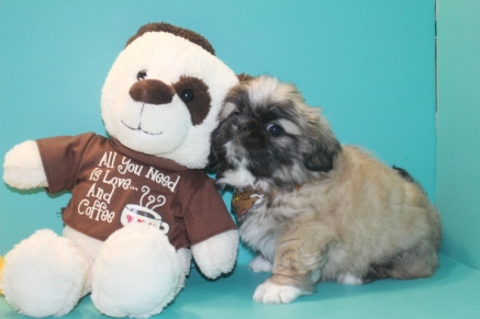 Bear Male Imperial CKC Shih Tzu $1750 Easter Special $1500 Ready 3/18 SOLD MY NEW HOME IS FERNANDINA, FL