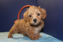 Cheddar Male CKC Yorkipoo $1750 Ready 4/23 SOLD MY NEW HOME JACKSONVILLE, FL