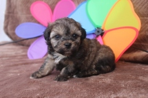 Desi Male CKC Shorkipoo $1750 Ready 5/20 SOLD MY NEW HOME MIDDLEBURG, IN