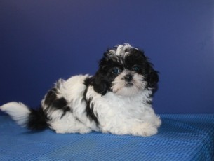 Lucy Female CKC Shorkipoo $1750 Ready 5/20 AVAILABLE