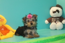 Molly Female T-Cup Yorkie Ready Now with all her puppy vaccine & Rabies $2000 EASTER SPECIAL $1500 SOLD MY NEW HOME JAX, FL