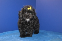 Olivia Female CKC Shihpoo $1500 WAIT PUPPY SPECIAL $999 Ready 5/6 SOLD MY NEW HOME ANCHORAGE, AK