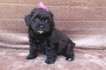 Olivia Female CKC Shihpoo $1500 WAIT PUPPY SPECIAL $999 Ready 5/6