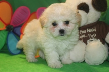 Aladdin Male CKC Malshipoo $1750 Ready 5/21 SOLD MY NEW HOME CORCORAN MN