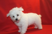 Maestro Male CKC Maltese $1750 ON SPECIAL $1250 Ready 5/13 He has all his vaccines including rabies completed SOLD MY NEW HOME JAX. FL