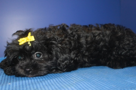 Karma Female CKC Malshipoo $1500 ON SALE $999 Ready May 5th SOLD NEW HOME JAX, FL